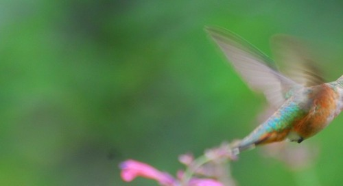 Attracting hummingbirds – it's time