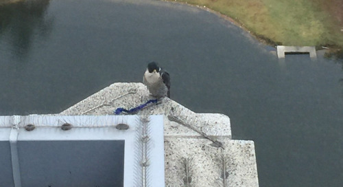 Peregrine news:  Lewis back in Texas