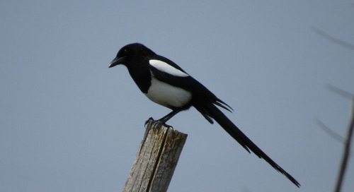 The disappearing magpie