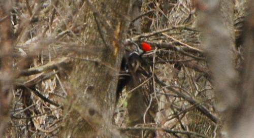 Pileated Woodpeckers moving deeper into Nebraska