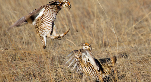 Observe greater prairie-chickens from Burchard WMA blinds