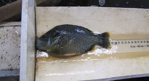 Stocking Hybrid Sunfish