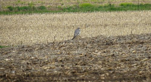 Nebraska's other Peregrine Falcons