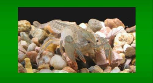 Seriously, Crayfish