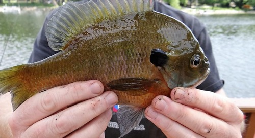 8 Reasons to Tackle Bluegill this Summer