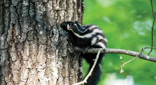 The Most Secretive of Skunks