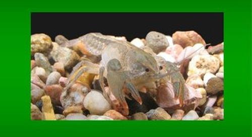 The Crayfish of Nebraska