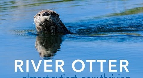 The River Otter: a conservation success story