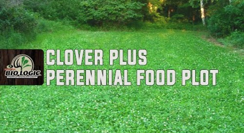 Clover Plus | Perennial Food Plot