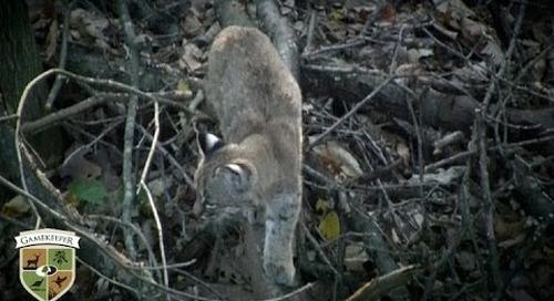 Baby Bobcat Climbing a Tree