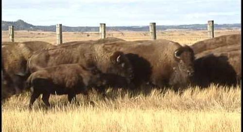 2010 Fort Robinson Buffalo Roundup