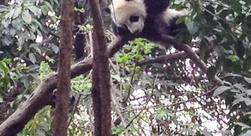 Chengdu Panda Tour for Boomer Wildlife Watchers