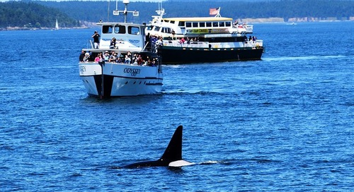 On the Orca trail in the San Juan Islands
