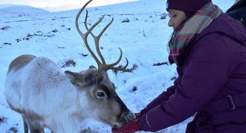 Trekking to Meet Scotland's Wild Reindeer on a Cairngorm Reindeer Adventure